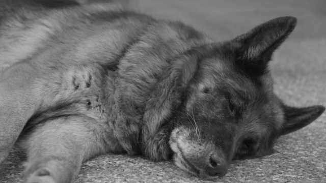 退役缉毒犬今日去世,曾欲独自死亡
