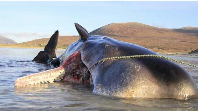 抹香鲸搁浅死亡,胃里有200斤垃圾