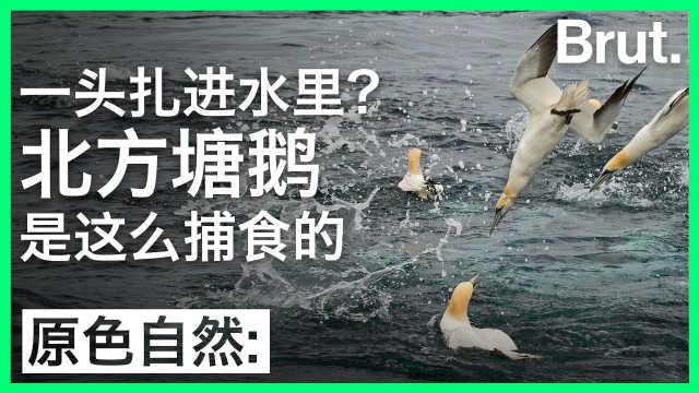 一头扎水里?北方塘鹅是这么捕食的