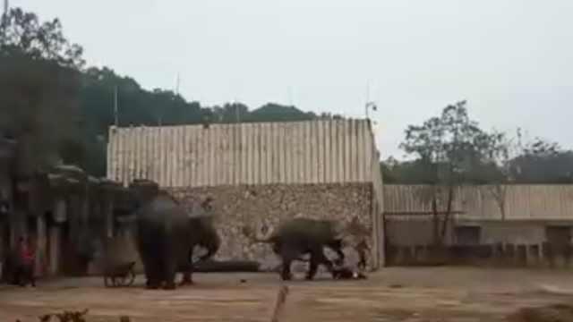 动物园大象踩死驯兽员:疑发情所致