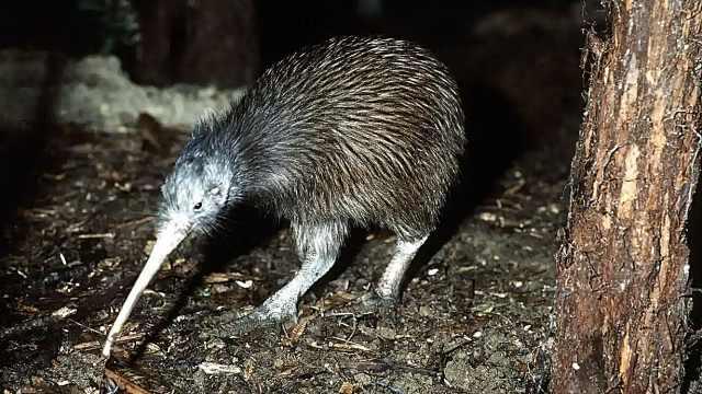 高温干旱!新西兰国鸟或将面临灭绝