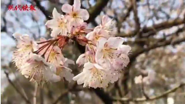 南京玄武湖樱花绽放!粉色美出天际