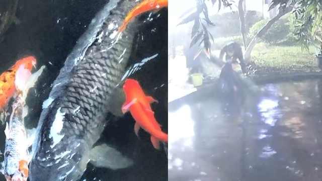 重庆40斤网红鲤鱼失踪,大爷痛心流泪:养了十几年,很通人性