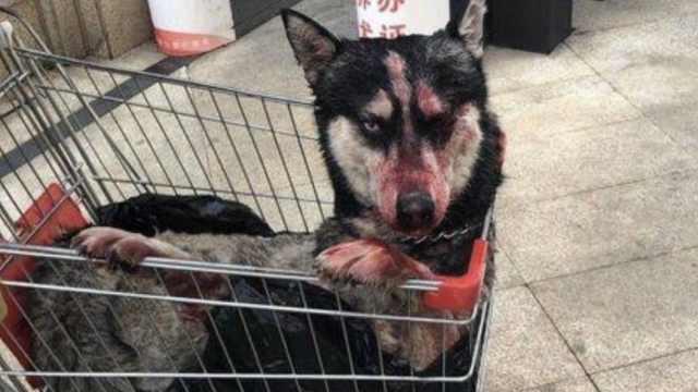 男子打碎哈士奇头骨被拘14天,狗主人要求追究其刑责