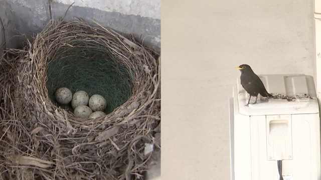 宿舍太久没人住,杭州大学生返校发现阳台有鸟筑巢孵蛋