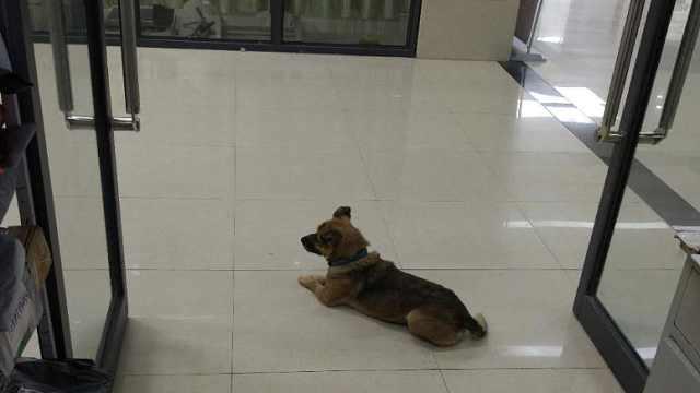 现实版忠犬八公:主人新冠去世,狗狗医院门口守3月不走