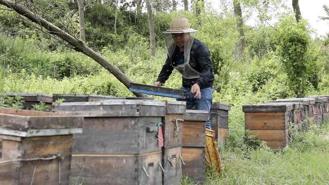 大叔养蜂26年遇最难一季,疫情错过花期喂蜜蜂2000斤白糖