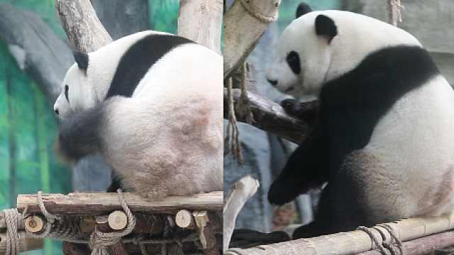 疫情期间吃不到空运竹笋,厦门一熊猫馆给滚滚本地觅食