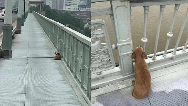 心酸!狗狗主人跳桥轻生,它守望桥面几天不走