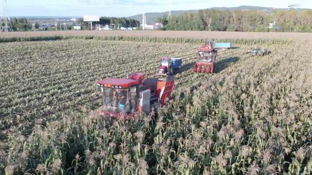 挺住了!三场台风过后黑土地迎来秋收:每垧地收成5万斤玉米