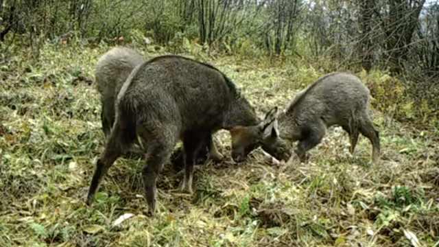 友谊的小船翻了!三只斑羚为争食物大打出手,一只落败麻溜跑路