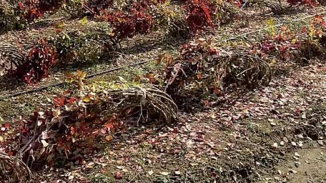 蓝莓是如何过冬的?整树捆绑压弯盖塑料布,零下20度低温也不怕