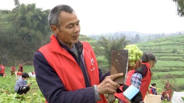 你的榨菜已在路上了! 世界榨菜之乡重庆涪陵72万亩青菜头开割