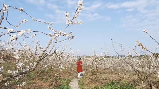 四川村寨30亩樱桃花绽放,游客沉醉花海