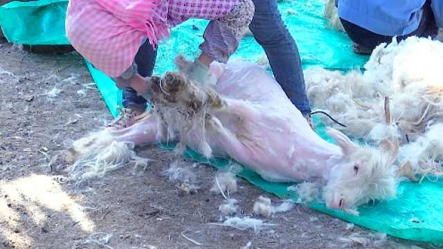 站着赚钱不腰疼,新疆这地方的人靠薅羊毛致富
