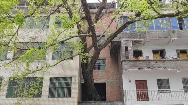 在古树穿墙的房子里居住是种什么体验?