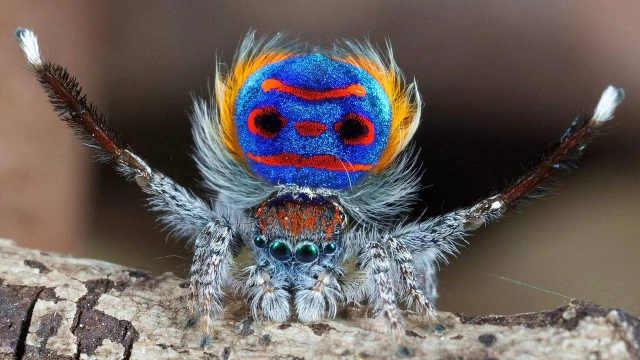 超可爱的孔雀跳蛛一次看个够