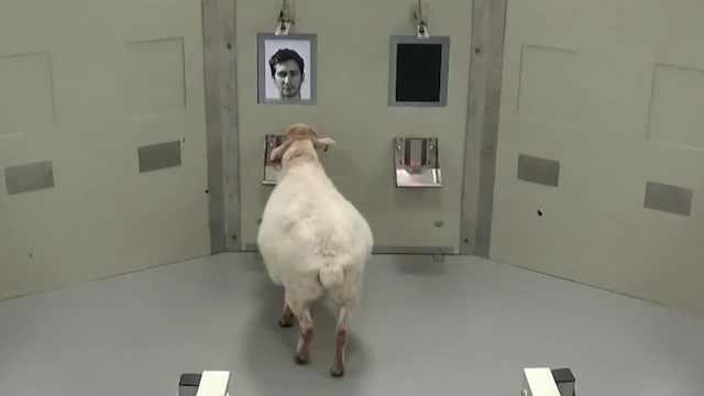 剑桥大学最新研究:羊可以识别人脸