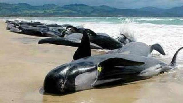 为什么鲸鱼会集体上岸自杀?