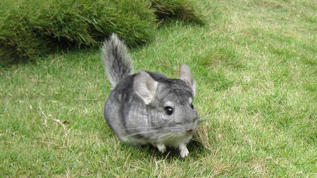 明明是大老鼠,为啥被叫做龙猫?