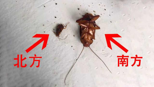 为什么南方蟑螂比北方蟑螂大很多?