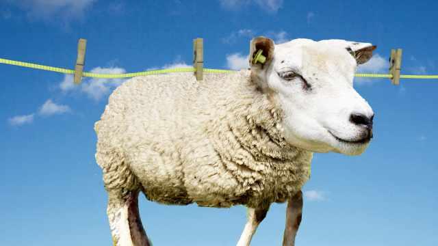 羊毛衫会缩水,那绵羊会不会缩水?