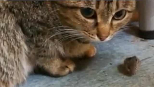 猫咪玩老鼠:抓了放放了又抓