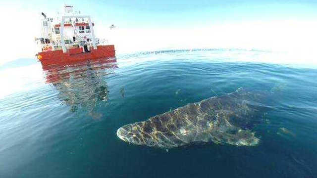 世界上寿命最长的鲨鱼:150岁成年