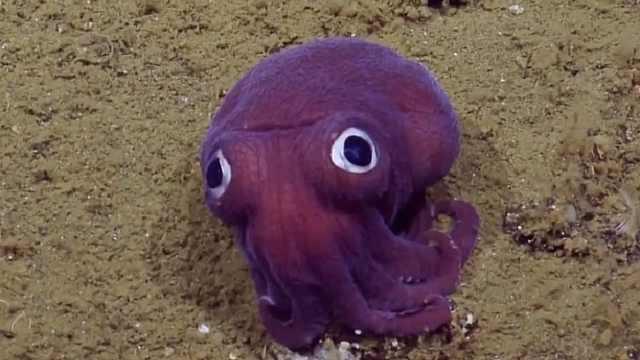 深海异世界:大眼萌小章鱼