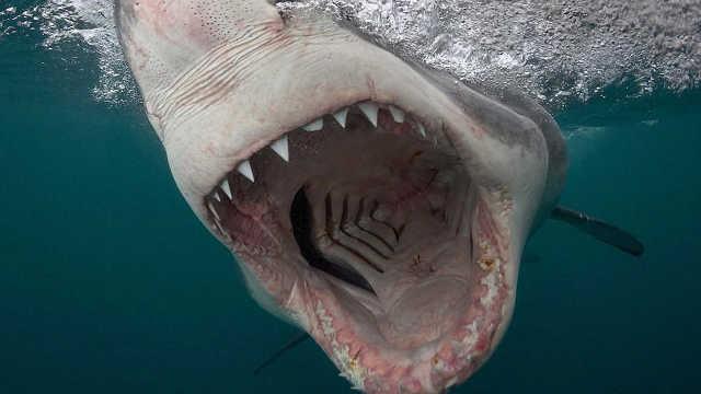 鲨鱼不会得癌症吗?