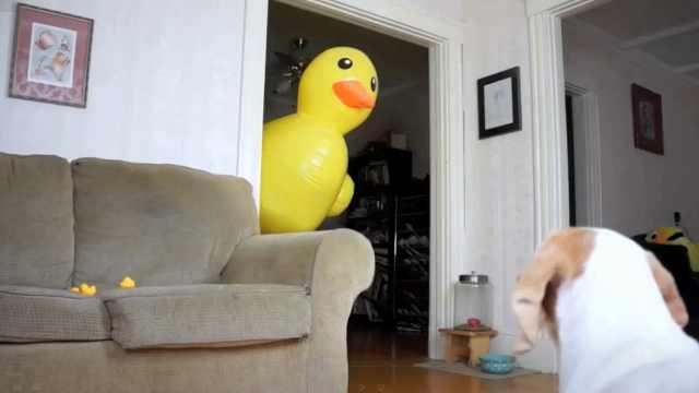 为守护鸭群,汪星人大战巨型橡胶鸭