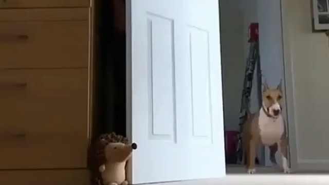 主人躲门后,傻狗狗怎么找也找不到