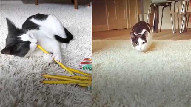 猫咪钟爱铅笔,看到铅笔就要拖走