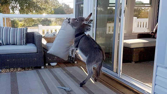 小毛驴被狗带偏,把自己活成了狗