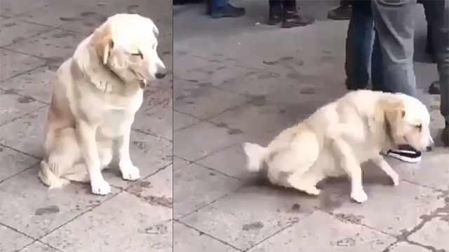萌翻!可爱狗狗街上打瞌睡摔倒