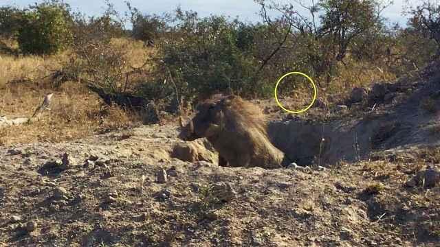 狡猾美洲豹捕食疣猪,场面惊险紧张