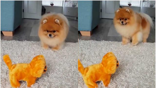可爱!博美和电动小狗玩耍被吓哭
