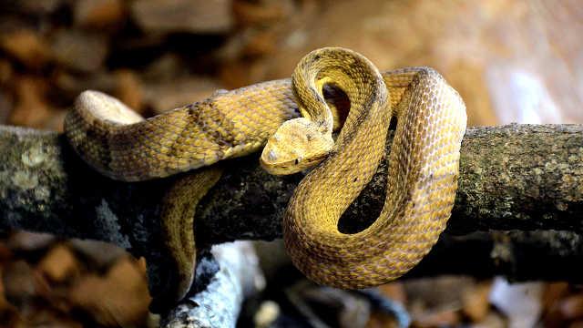 43万条蛇占领巴西小岛