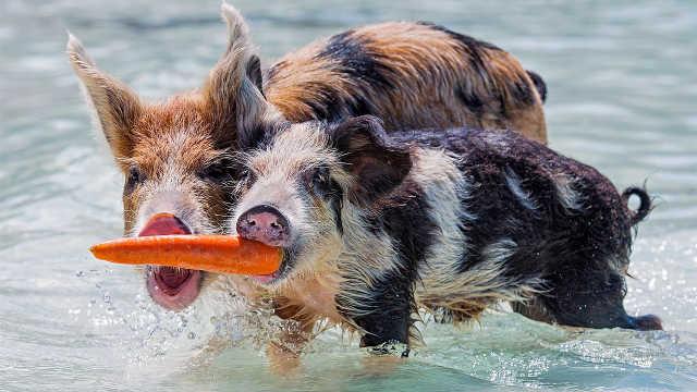 这里的猪是明星:世界游客跑来喂猪