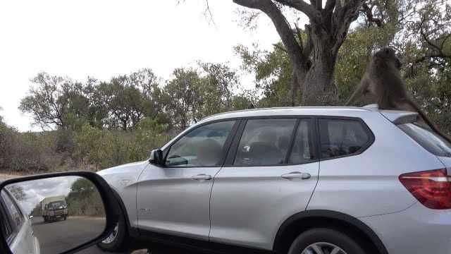 搞笑!这只厚脸皮猴子爬车顶蹭车