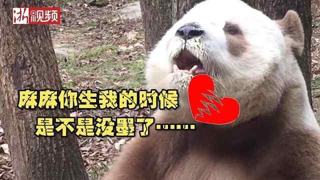 没墨了?棕色大熊猫展露吃货本性