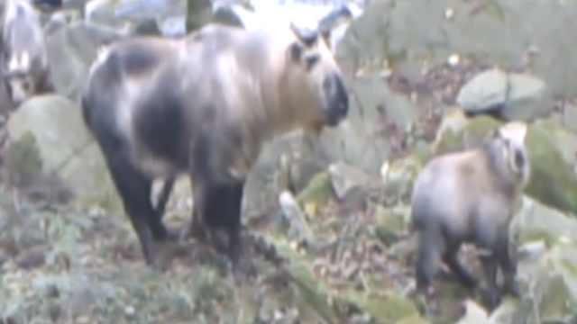 罕见野生3代羚牛