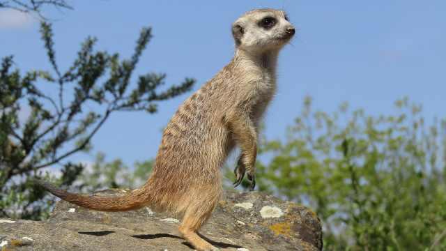 非洲好奇宝宝:狐獴