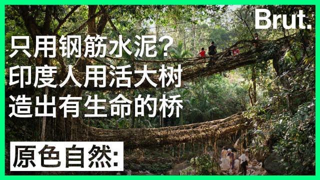 只用钢筋水泥?印度人用活大树造桥
