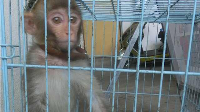 村民非法猎捕猕猴,人工繁育做买卖