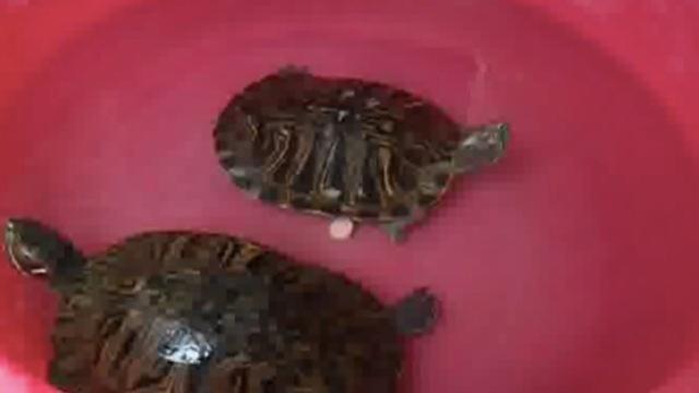 村民捡到母乌龟,隔天公乌龟找上门