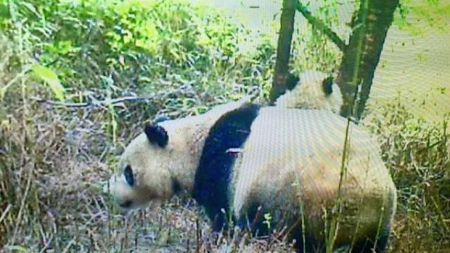 四川千佛山首次发现野生大熊猫