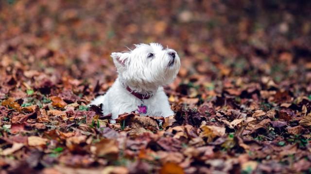 小盲狗爱落叶 还一副很享受的样子