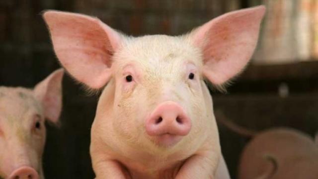 猪心长在猴身:异种器官移植成可能