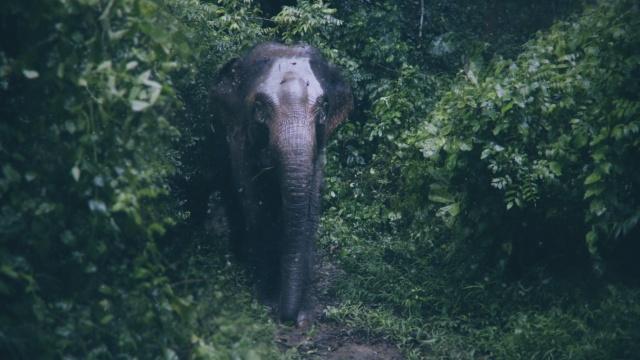 纪录片|原始森林争夺战:揭秘人象相杀三十年背后的故事
